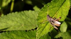 Grasshopper on a leaf 3 Stock Footage