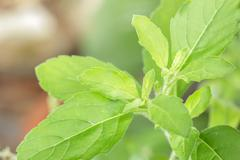 holy basil,ocimum sanctum - stock photo
