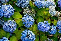Blue hydrangea Stock Photos