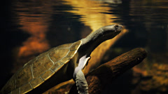 Freshwater turtle Stock Footage