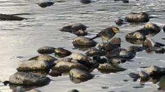 Yellow wagtail (motacilla flava) Stock Footage