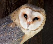 Barn owl (tyto alba) Stock Photos