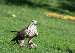 Saker falcon (falco cherrug) on the grass Stock Photos