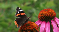 Red Admiral (Vanessa Atalanta) butterfly, damaged wings on purple coneflower Stock Footage
