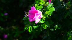 Pink dog rose Stock Footage