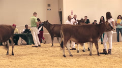 State Fair cattle judge during show competition HD 9604 Stock Footage