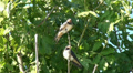 Tree Swallows sitting in green tree on windy day HD Footage