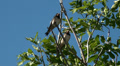 Tree Swallows sitting in green tree on windy day Footage