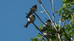 Tree Swallows sitting in green tree on windy day Stock Footage