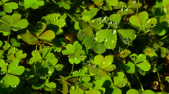 Clover petals with dew, St. Patrick's Day Stock Footage