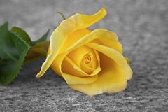 Stock Photo of yellow rose flower