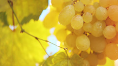 Cluster of yellow grapes - stock footage