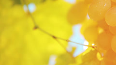 Bunch of yellow grapes Stock Footage