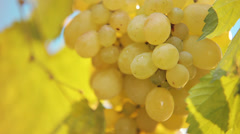 Bunch of ripen grapes - stock footage
