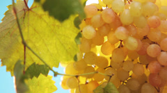 Cluster of ripe grapes - stock footage