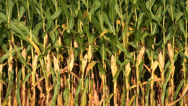 Stock Video Footage of Corn field in the midwest