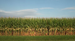 Corn field in the midwest - stock footage
