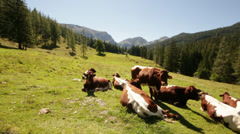 Cows on field in alpine valley Stock Footage
