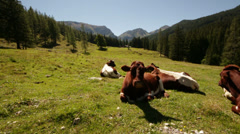 Cows in alpine surrounding Stock Footage