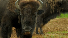 American Bison grass feeding, Canada Stock Footage