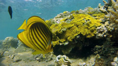 Butterflyfish eats saltwater clams Stock Footage