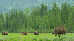 American Bison, USA Stock Footage