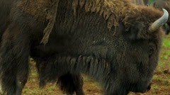 American Bison feeding, USA Stock Footage