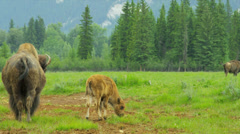 Bison feeding with calf wilderness forest, USA Stock Footage