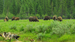 Herd of Buffalo grazing with calf, USA Stock Footage
