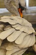 Beautiful white swan sculpture Stock Photos