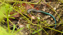 Amid Nature - Blue Tailed Skink Lizard Stock Footage