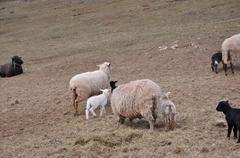 Sheeps and lambs Stock Photos