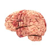 Anatomy Brain - Side View Isolated on White Stock Photos