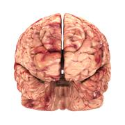 Anatomy Brain - Front View Isolated on White - stock photo