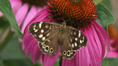 Stock Video Footage of Speckled Wood (pararge aegeria) butterfly feeds on echinacea purpurea