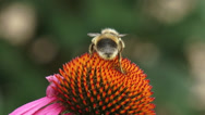 Stock Video Footage of Honey bee feeds on nectar Purple coneflower + departs -  close up
