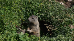 dolomiti groundhog eating in nest closeup (marmot marmotta) - stock footage