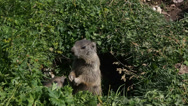 Stock Video Footage of dolomiti groundhog eating in nest closeup (marmot marmotta)