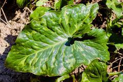 arum leaf - stock photo