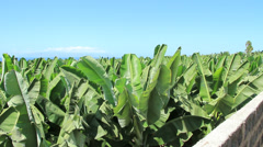 Banana plantation on South of Tenerife island. Canary islands, Spain. Stock Footage
