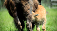 Bison calf feeding from female grasslands - stock footage