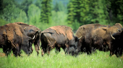 American Bison feeding nr Rocky Mountains Stock Footage