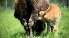 Bison calf feeding from female grasslands Stock Footage