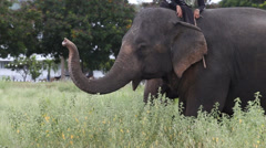 Asia elephant in Thailand - stock footage