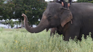 Stock Video Footage of Asia elephant in Thailand