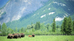 Herd of Bison grazing grasslands with calf - stock footage