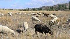 Flock of sheep. Stock Footage