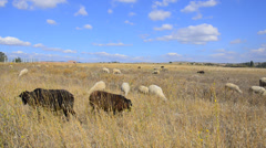 Sheeps feasting - stock footage