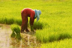 thai farmer preparation rice seedlings for planting - stock photo