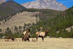 Bull Elk and Cows on Ridge Stock Photos
